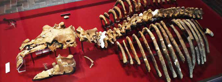 パレオパラドキシア大野原標本の写真